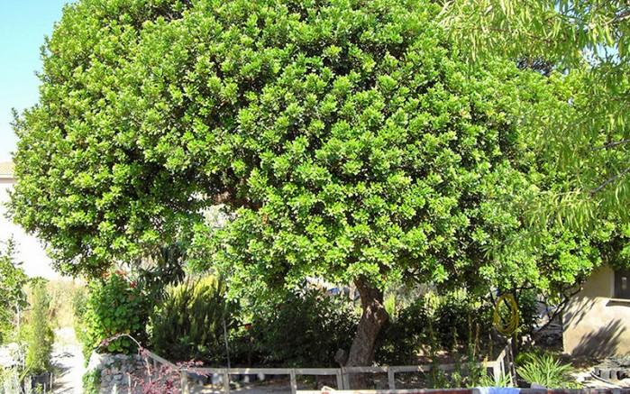 Sakız Ağacı koruluğu